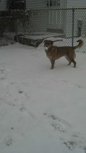 Rosie loves the snow. She made her own track in the back yard so she can run laps.